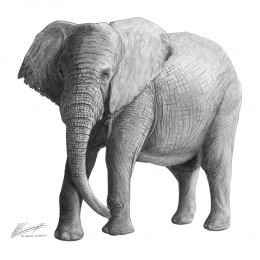 Pencil drawing of a South African elephant